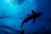 GPS naturel : les requins se repèrent grâce au champ magnétique de la Terre