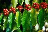 Le café d'arabica Khe Sanh remporte le premier prix d'un concours