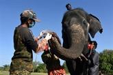 Test de dépistage du COVID de 28 éléphants, après la mort d'une lionne imputée au virus