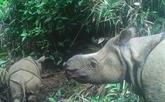 Deux petits rhinocéros de Java repérés dans un parc naturel d'Indonésie