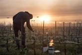 Gel dévastateur dans le vignoble français : le réchauffement suspect numéro 1