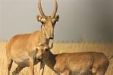 L'antilope saïga a vu sa population plus que doubler en deux ans
