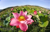 S'immerger dans la beauté pittoresque des fleurs de lotus