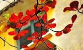 Những lá bàng