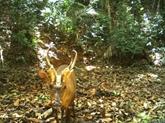 Une espèce rare et menacée de cerf repérée pour la première fois au Cambodge