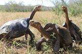 Les tortues Galapagos en contact avec les hommes résistantes aux antibiotiques