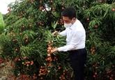 L'Australie, un marché prometteur pour le litchi frais vietnamien