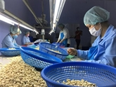 La France augmente ses importations de noix de cajou du Vietnam
