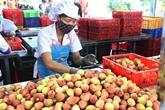 Le litchi de Hai Duong exporté pour la première fois en Thaïlande