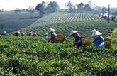 Les exportations nationales de thé devraient croître au 2e trimestre 2021