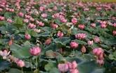 Conservation et développement de la culture du lotus