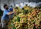Quang Ninh soutient Bac Giang dans la vente de litchis