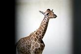 France : naissance d'un girafon au zoo de Beauval