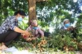 La première coopérative de Hung Yên exporte des longanes vers le marché de l'UE