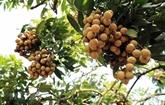 AEON envisage d'exporter le longane vietnamien vers les marchés asiatiques