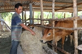 Vietnam - Laos :Quang Binh aide Khammouane à protéger le bétail