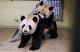 Zoo de Beauval : le panda Huan Huan attend bien un nouveau petit