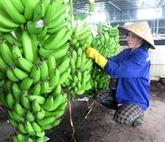 La République de Corée augmente ses importations de bananes vietnamiennes