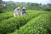 Pour renforcer les exportations de thé de Thai Nguyên