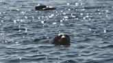 La bataille pour sauver les phoques les plus menacés au monde