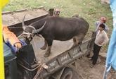 La traque aux buffles ensauvagés à Quang Tri