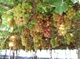 Ninh Thuân développe de nombreuses variétés de cépages à haut rendement