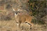 États-Unis : une étude trouve des anticorps contre le nouveau coronavirus chez des cerfs de Virginie