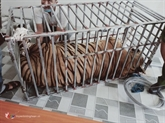 Gros efforts du Vietnam dans la lutte contre l'élevage et le trafic des tigres