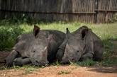 Hausse du nombre de rhinocéros tués en Afrique du Sud en 2021