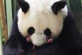 Zoo de Beauval : des jumelles en bonne santé pour agrandir la famille panda