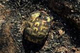 Opération sauvetage de tortues dans une réserve naturelle du Var ravagée par le feu