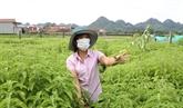 Développement de la production d'huiles essentielles à Ninh Binh