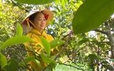 Le thé vert Met de Viêt Thuân, une douceur incomparable