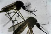 Nouméa pense avoir éradiqué la dengue grâce à une technique innovante