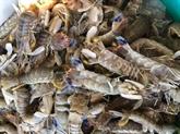 Vulgariser le modèle d'élevage des squilles à Cà Mau