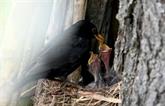 France : des chasses traditionnelles d'oiseaux deviennent illégales