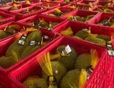 Le durian Ri6 du Vietnam bien apprécié en Australie