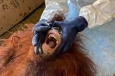 Des orangs-outans de Bornéo testés pour le coronavirus