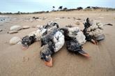 Quand la tempête souffle, les oiseaux marins crient famine