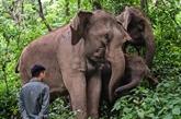 En Chine, cohabitation douce-amère entre éléphants et villageois