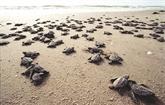 Le parc de Côn Dao, lieu idéal pour les tortues de mer
