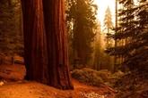 Des bosquets de séquoias cernés par les flammes en Californie