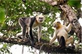 Efforts pour conserver une espèce de primate rare à Hà Giang