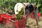 Vin : la production française devrait chuter de 29% en 2021 à un niveau