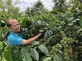 Chute des exportations de café vietnamien vers le Royaume-Uni