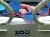 Des jumeaux pandas géants sont nés dans un zoo de Madrid