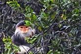 Un primate en voie de disparition relâché dans le Parc national de Bach Ma
