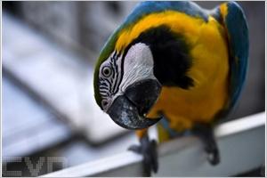 Perroquet de Caracas