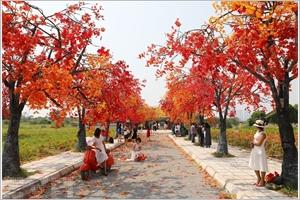 Le chemin des érables à Hanoï