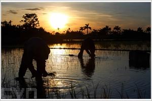 Cultivation du riz au Nord du pays